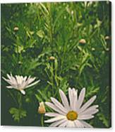 Dreaming Of Daisies Canvas Print