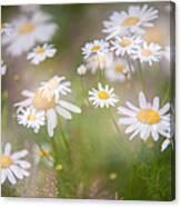 Dreamy Daisies On Summer Meadow Canvas Print