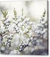 Dreamy Pastel Juniper Berries Canvas Print