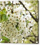 Dreamy White Cherry Blossoms - Impressions Of Spring Canvas Print