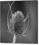 Dried Common Teasel Canvas Print
