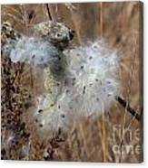 Dried Milk Weed  Canvas Print