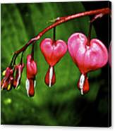 Drip Of The Heart Canvas Print