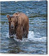 Dripping Grizzly Canvas Print