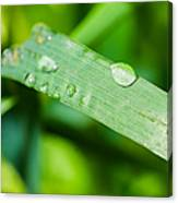 Drop Of Rainwater On A Grass Blade Canvas Print