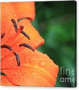Droplets On Tiger Lily Canvas Print