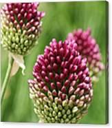 Drumstick Allium Canvas Print