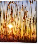 Dry Cane Canvas Print