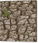 Dry Cracked Mud  Canvas Print