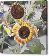Dry Sunflowers Canvas Print
