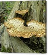 Dryads Saddle Bracket Fungi - Polyporus Squamosus Canvas Print
