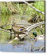 Duck And Drake Canvas Print
