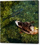 Duck And Fish Canvas Print