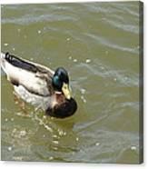 Duck - Animal - 011315 Canvas Print