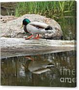 Duck Duck Canvas Print