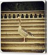 Duck In The Stair Canvas Print