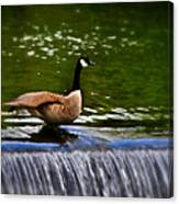 Duck On The River Wye Waterfall - In Bakewell Peak District - England Canvas Print