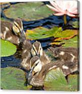 Duck Soup 2 Canvas Print