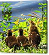 Ducklings Canvas Print