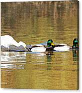Ducks And Egret Canvas Print