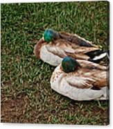 Ducks At Rest Canvas Print