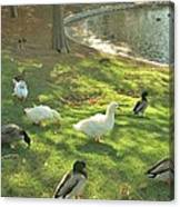Ducks At The Park Canvas Print