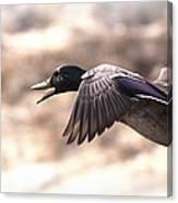 Ducks Have Teeth - Mallard Canvas Print