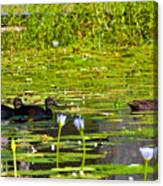 Ducks In Lily Pond Canvas Print