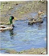 Ducks Unlimited Canvas Print