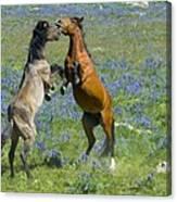 Dueling Mustangs Canvas Print