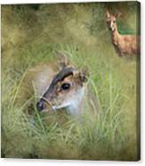 Duiker Endangered Antelope Canvas Print