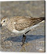 Dunlin Calidris Alpina In Winter Plumage Canvas Print