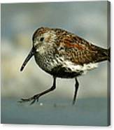Dunlin On The Hunt Canvas Print