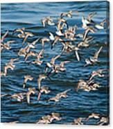 Dunlins In Flight Canvas Print