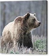 Dunraven Grizzly Canvas Print