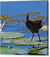 Dusky Moorhen Admiring The Water Lilies Canvas Print