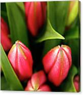 Dutch Bulbs Canvas Print
