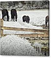 Dutch Friesian Horses Behind A Wooden Fence In A Pasture Canvas Print