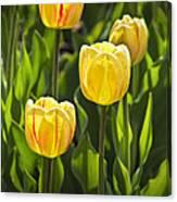 Dutch Yellow Tulip Flowers On Windmill Island In Holland Michigan Canvas Print