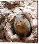 Dwarf Mongoose  Canvas Print