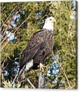 Eagle 1979 Canvas Print
