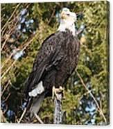 Eagle 1985 Canvas Print