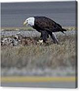 Eagle Feeding Canvas Print