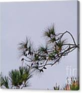 Eagle In The Pines Canvas Print