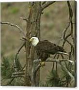 Eagle On A Tree Branch Canvas Print