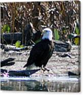Eagle Posing By Water Canvas Print