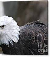 Eagle With Ruffled Feathers Canvas Print