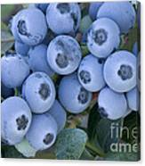 Early Blue Blueberries Canvas Print