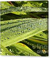 Early Dew Canvas Print