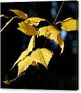 Early Fall Of  Downy Birch Canvas Print